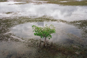 A medium-sized mangrove tree