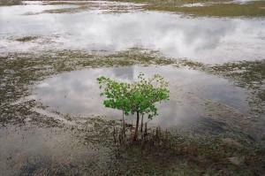 A medium-sized mangrove tree