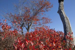 Bushes and trees with red leaves against a bright blue sky